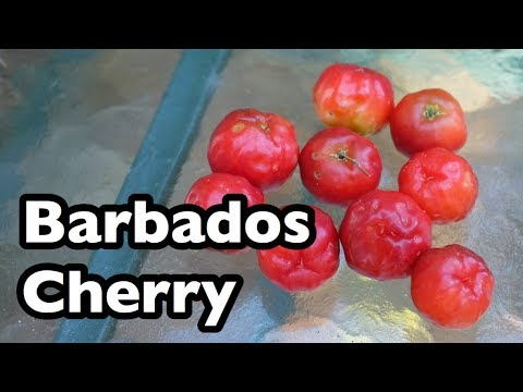 All About Barbados Cherries!