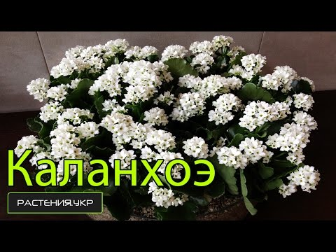 фото цветка каланхоэ уход в домашних условиях
