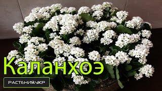 Каланхоэ уход в домашних условиях / каланхоэ размножение(Каланхоэ, также Каланхое (лат. Kalanchoë) — род суккулентных растений семейства Толстянковые (Crassulaceae). Известно..., 2014-12-12T07:00:02.000Z)