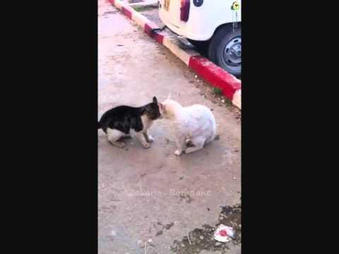 Chats Algériens