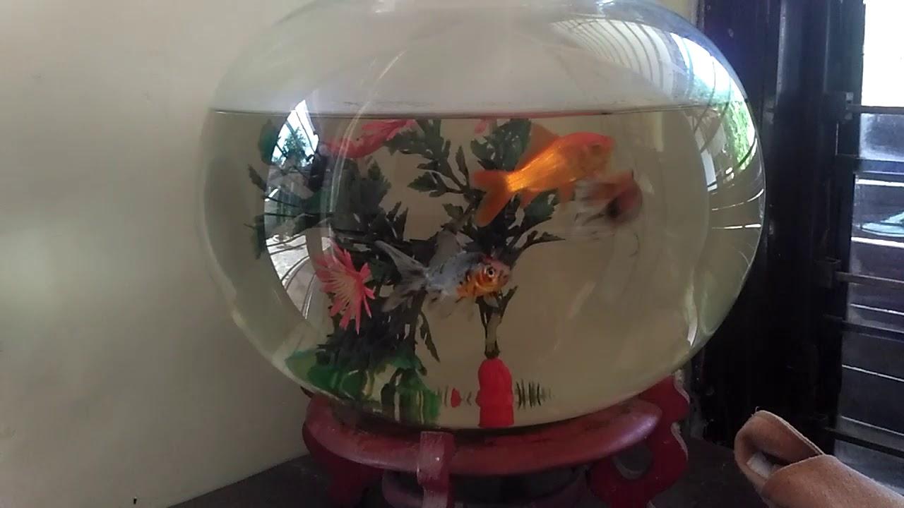 Ikan Koi Dalam Akuarium Bulat Youtube