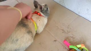 Comment mettre un harnais à son lapin