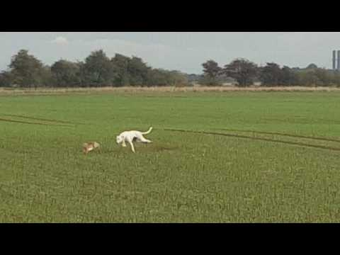 Snowman hare coursing