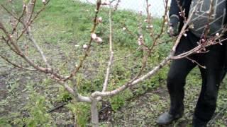 Обрезка персика(, 2015-04-20T20:33:15.000Z)