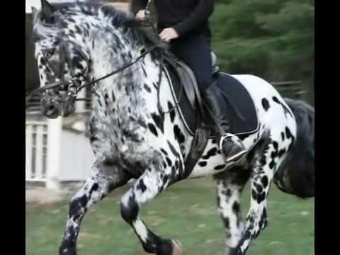 Leopard Friesian Stallion For Sale