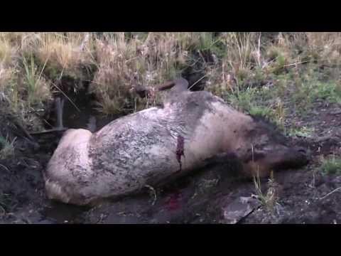 Colorado Cow Elk Muzzle Loader Hunt