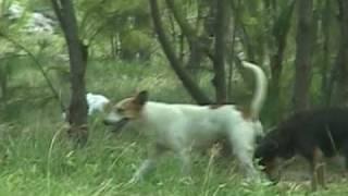 MATING DOGS , GUAM / グアム野良犬天国