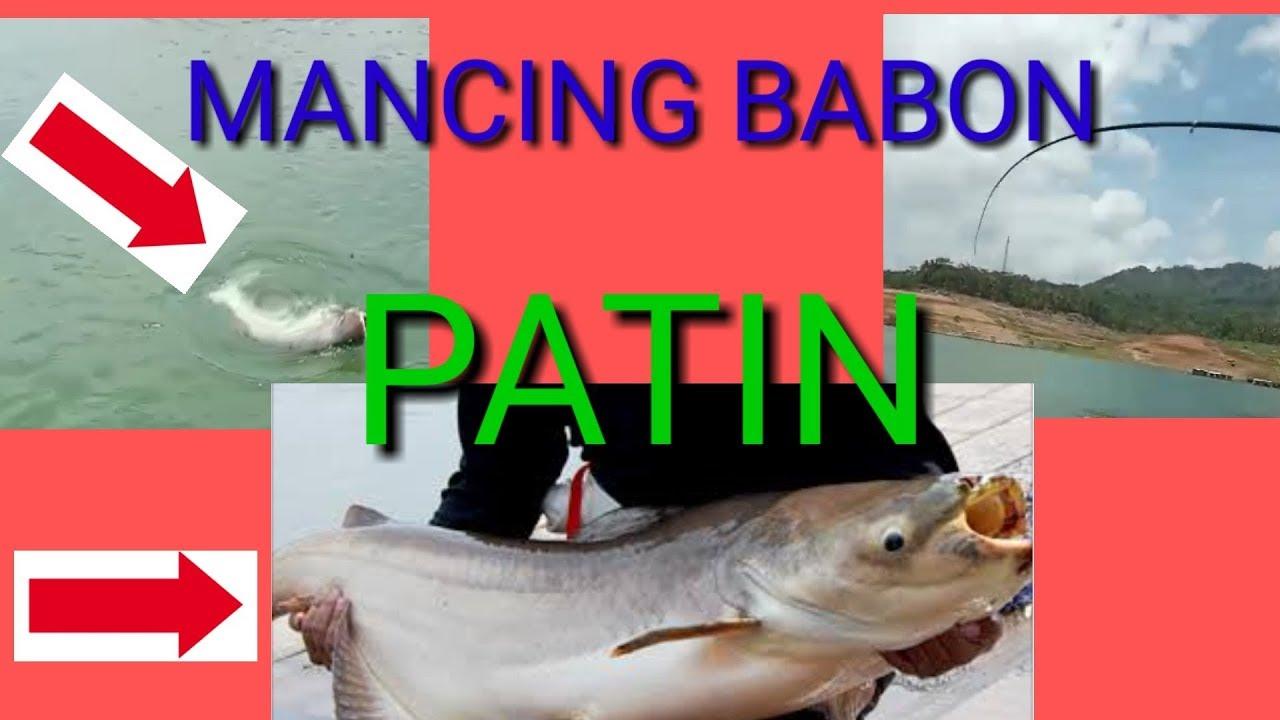 Mancing Ikan Patin Babon Joran Tegeg Sampai Melengkung Di Waduk Wadas Lintang Umpan Ramuan Jitu Youtube