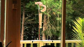 Squirrel vs. electrified bird feeder