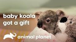 Bert the baby Koala meets her new mum | Crickey! It's the Irwins