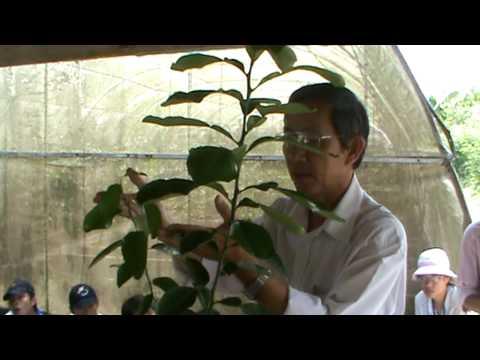 Kỹ thuật tạo cây có múi sạch bệnh 3 cấp (part 1)