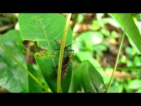assassin bug eating a caterpillar.MOV