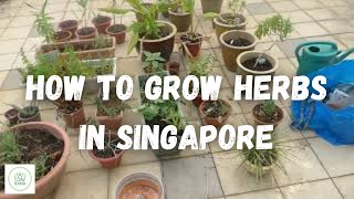 How to grow herbs in Singapore