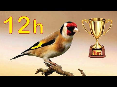 Goldfinch 12h The BEST Song