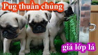 Mua chó Pug thuần chủng ở đâu uy tín mà giá học sinh lớp lá? - câu trả lời là đây - PUGK PET SHOP