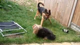 German Shepherd Vs. Yorkshire Terrier!