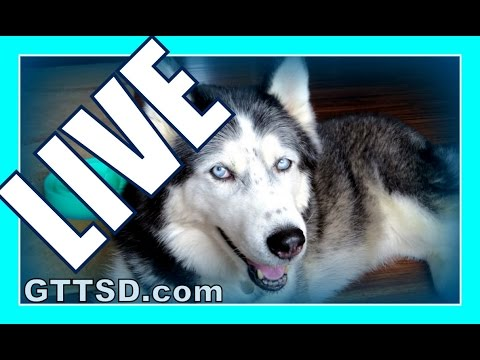 SIBERIAN HUSKIES LIVE | Gone to the Snow Dogs Live Q&A