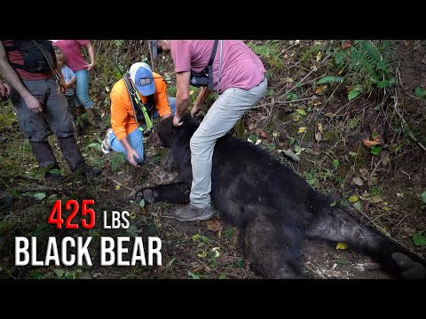 The BIGGEST BEAR we've got on film – Bear Hunting with Hounds