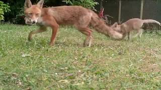 Foxy playtime on the lawn