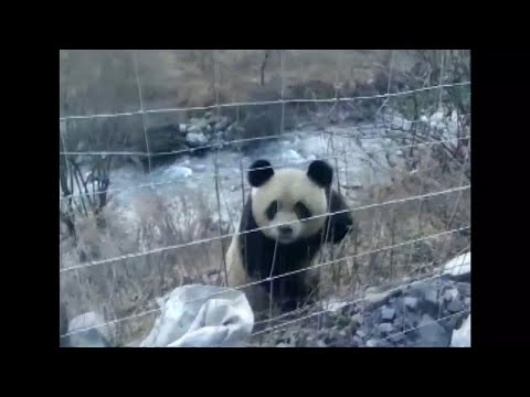 Wild giant panda spotted and spooked in Chinese village