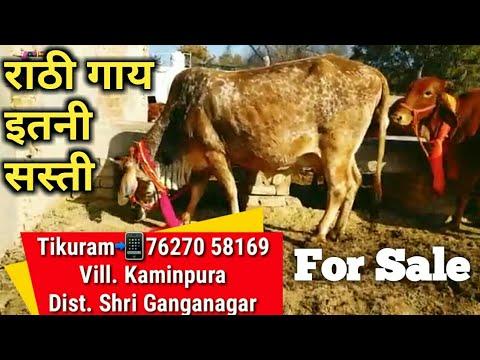 👍Super Rathi Cow For Sale @ 37000₹ 14 Liter Milk Vali Available @ Tikuram Ji #Rathi Cow Farm Talk