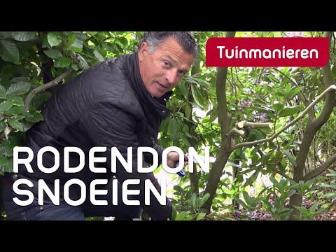 Hoe een Rhododendron snoeien?
