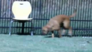Phoenix, Boxer/labrador Retriever