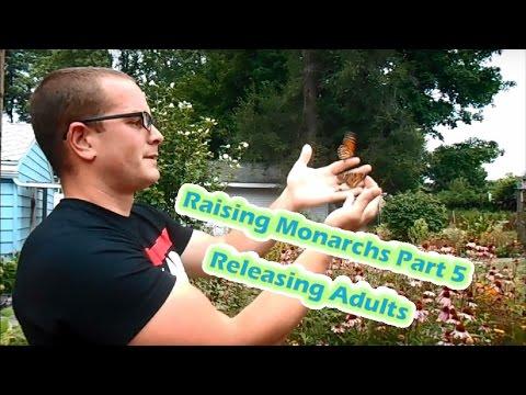 Raising Monarchs Part 5 - Releasing Adults (How To Raise Monarch Butterflies)