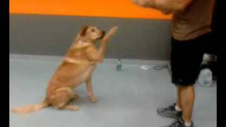 Pancho Waving Hi - Dog House Training Academy