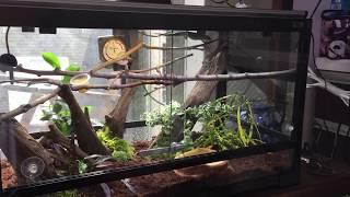 グランディスヒルヤモリお迎えPhelsuma madagascariensis   keeprearraisekeep  reptiles