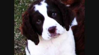 Dog Breeds-english Springer Spaniel