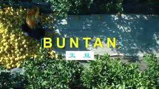 BUNTAN 文旦 四万十清流農場&白木果樹園 4K空撮