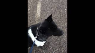 Maven's Off Leash Training Day 4 - Working With Leash Aggression