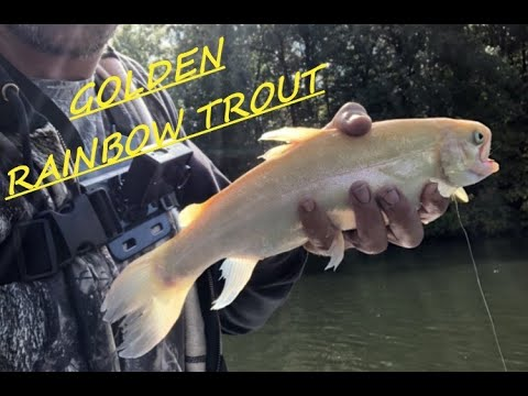 Part 2: Fall Trout Fishing In Illinois. Catch & Cook