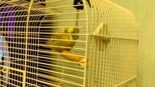 говорящий попугай насилует ключи