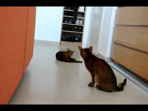 Abyssinian cats playing