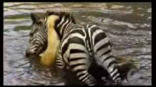 Zebra escapes a Lion
