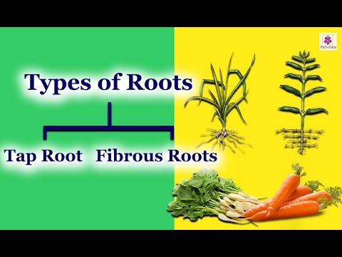 The Root System Different Kind Roots Tap Root Fibrous Roots Periwinkle