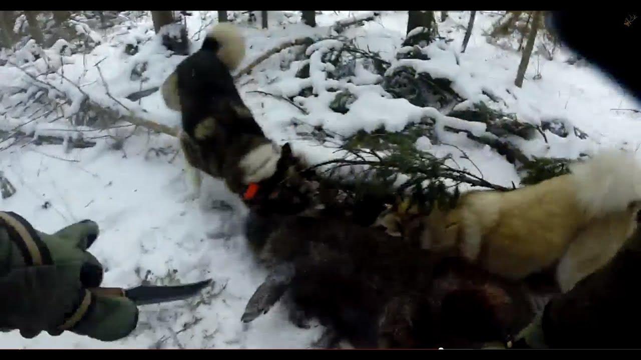 Охота на кабана с собаками ( зарезал ножом )