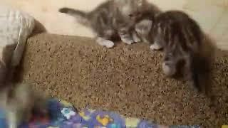 Шотланские вислоухие котята, продажа,д.р. 15,12,2017г