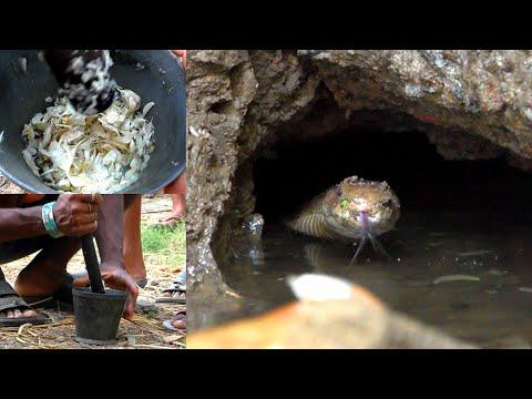 देखे घर में कहा छिपा था ये खतरनाक नाग। Venomous Spectacled Cobra rescued from house:Bhadrak, Odisha.