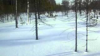 охота на глухаря зимой