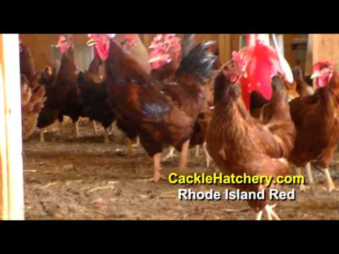 rhode-island-red-chicken-breed-(breeder-flock)-|-cackle-hatchery