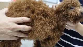 Caesarean Section Poodle 64th Day - History Taking. Part 1