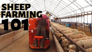 sheep-farming-101-feeding-time-more-vlog-227
