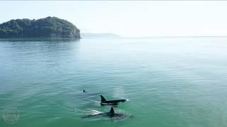 Orca Whales - Bowentown, Waihi Beach.