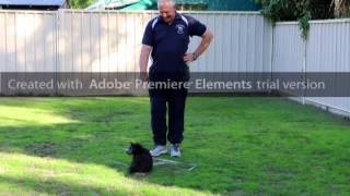 Pomoodle Puppy (pom A Poo) Pomeranian X Toy Poodle