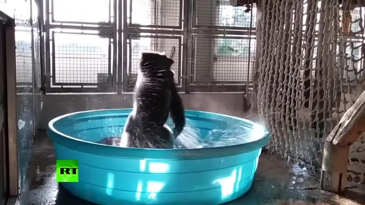 Король брейка: танцующая горилла стала звездой интернета