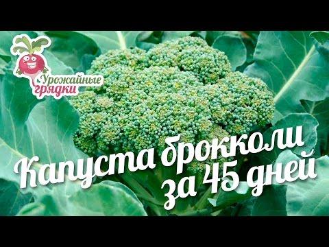 Брокколи - Полезные и опасные свойства брокколи