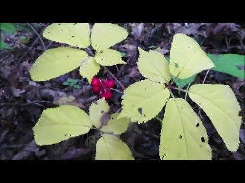 late season ginseng hunt